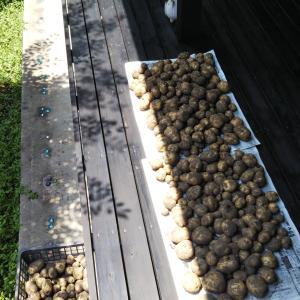 収穫したジャガイモでコロッケ