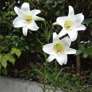 白いユリ?は、毎年咲きます。