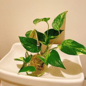 トイレの観葉植物は、今!?