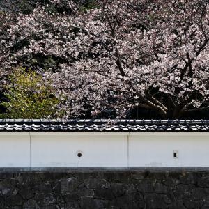 田原城跡の桜