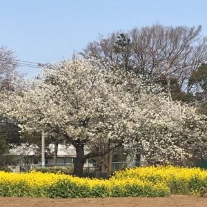 桜、さくら、サクラ、いつもと変わらない風景です。