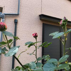 待ち遠しい薔薇の季節♪