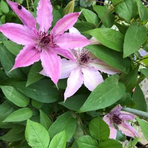 クレマチス、モッコウバラ、ハナミズキ、一気に開花し始めました♪