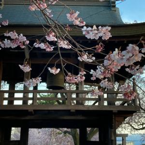 原村も桜が咲き始めました