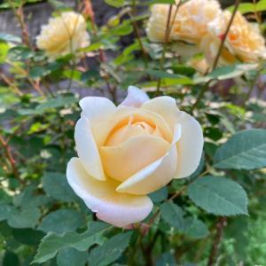 夏に咲き誇る温泉旅館のバラ