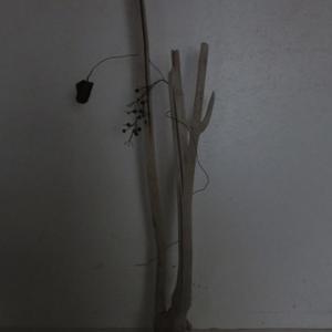 流木の枝に枯れ残ったヘクソカズラ