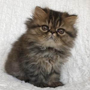 エキゾチック子猫2.5ヵ月