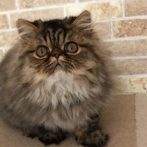 エキゾチック子猫