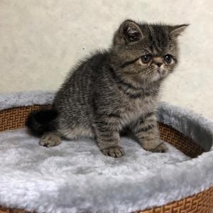 エキゾチック子猫2ヵ月目