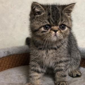 エキゾチック子猫10週目