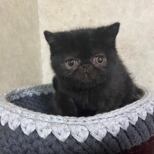 ブラックエキゾチック子猫