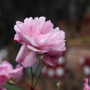 冬なのに庭のバラが綺麗に咲いています