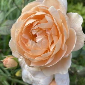 アンブリッジローズが咲きました