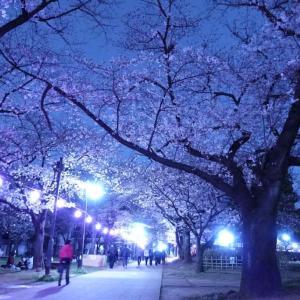 幻想的夜桜