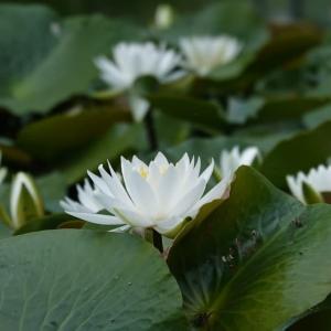 蓮の花咲く