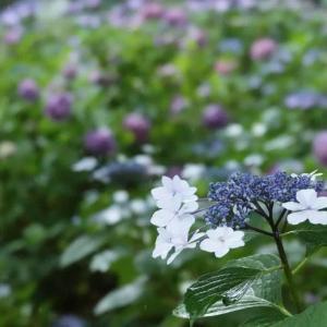 今年も紫陽花咲く
