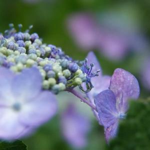 紫陽花 マクロな宇宙