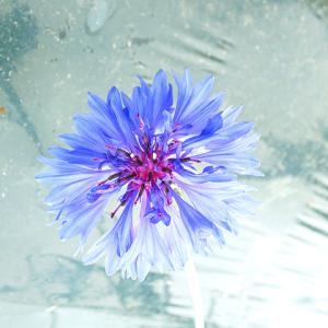 ハーブティー商品価格の見直しを行いました&コーンフラワーの花