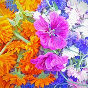 カレンデュラ、マロウブルー、コーンフラワー…花のハーブたち。ハーブ畑より。