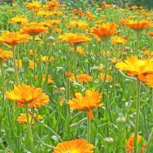 カレンデュラ満開…ハーブ畑より。白い?カレンデュラも咲きました!