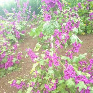 マロウブルーが咲き乱れています…ハーブ畑より。