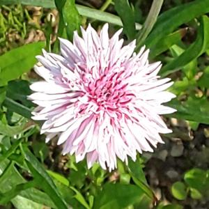 コーンフラワーの花(ピンク)が咲きました…ハーブ畑より。