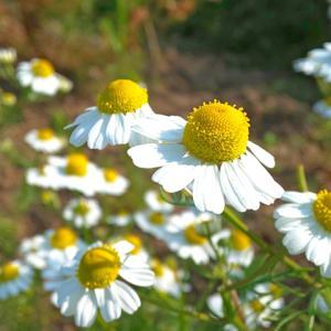 ジャーマンカモミールの花、開花…ハーブ畑より。