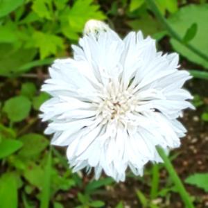 コーンフラワーの白が咲きました…ハーブ畑より。