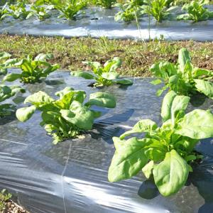 カレンデュラの苗が元気に大きくなっています…ハーブ畑より。