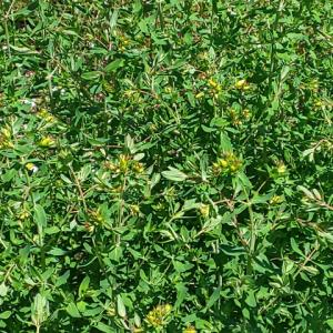 セントジョンズワートの花が咲きそうです…ハーブ畑より。