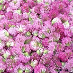 レッドクローバー、ピンク色の宝石のようなハーブを収穫しています!