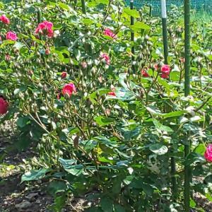 ローズのハーブティー、今年は少しは増えるかな…ハーブ畑より。