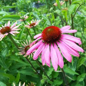 エキナセア開花…ハーブ畑より。ハーブティーはセール中です。