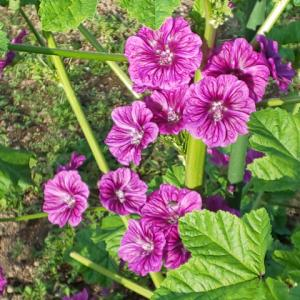 マロウブルー、綺麗に咲いています…ハーブ畑より。