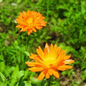 カレンデュラの花…ハーブ畑より&お客様の声投稿で200ポイントをプレゼント
