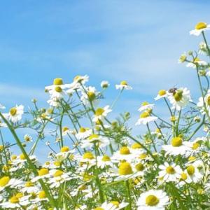 ジャーマンカモミールと夏の空…ハーブ畑より。