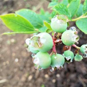 雨に濡れるブルーベリー…ブルーベリー畑より。