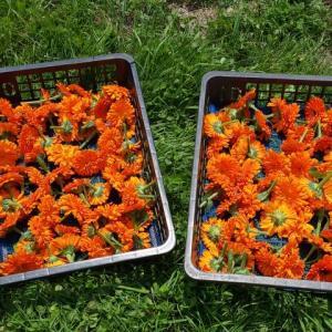 カレンデュラ、マロウなど、ハーブの花の収穫再開しました…ハーブ畑より。