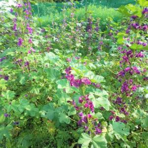 長雨が過ぎて、咲き乱れるマロウブルー…ハーブ畑より。