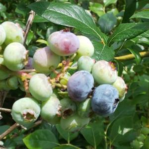 ブルーベリーの実も色づいてきています。