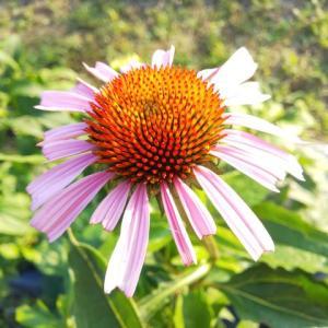 臨時休暇のお知らせ&エキナセアの花。