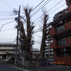 川越の大銀杏と夫婦銀杏