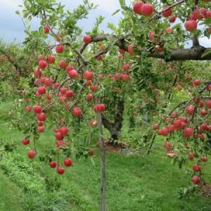 りんごの収穫~さんさ~