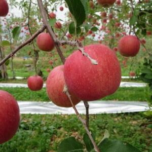 美味しいりんごを作る為に・・玉まわし・・してます!