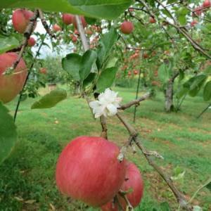 りんごの収穫はじまりましたよ~