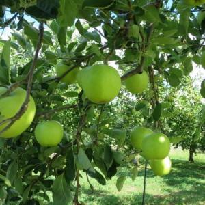 夏のりんごと孫の手