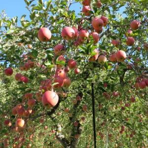 りんごと生落花生