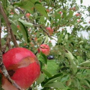 猛暑と台風に耐えたリンゴ、間もなく収穫です~さんさ~