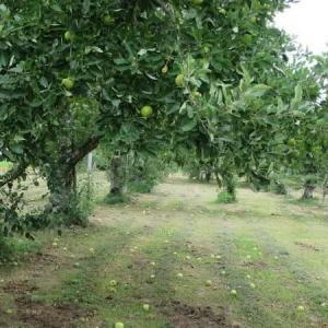 りんごの摘果作業が終わりました!