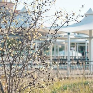蝋梅の季節
